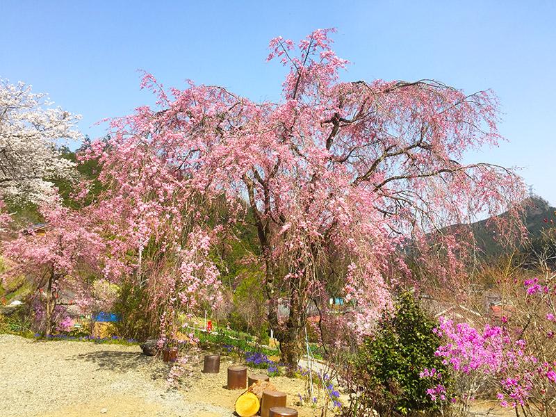 龍珠院の枝垂れ桜