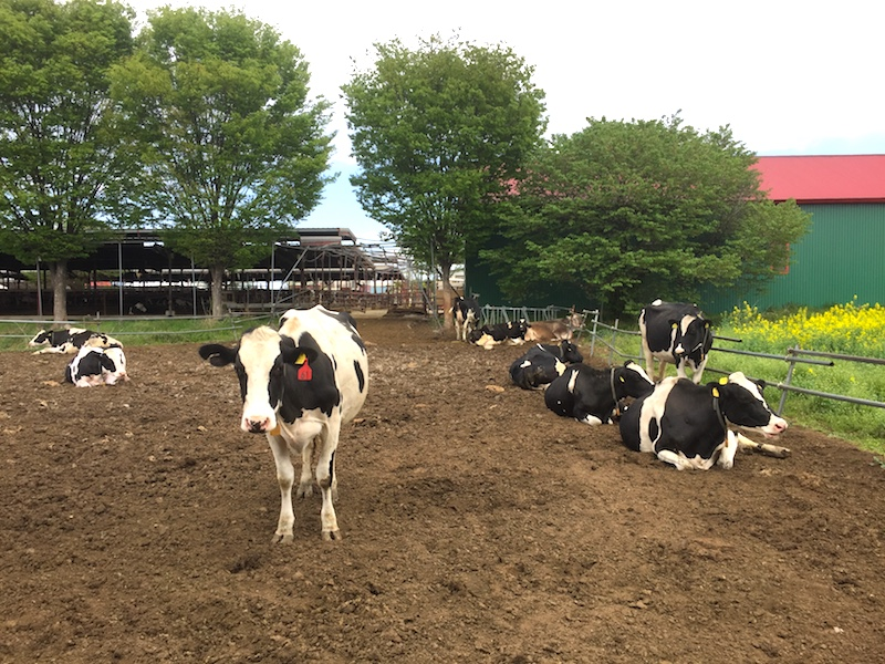 加藤牧場の柵の中の牛さん
