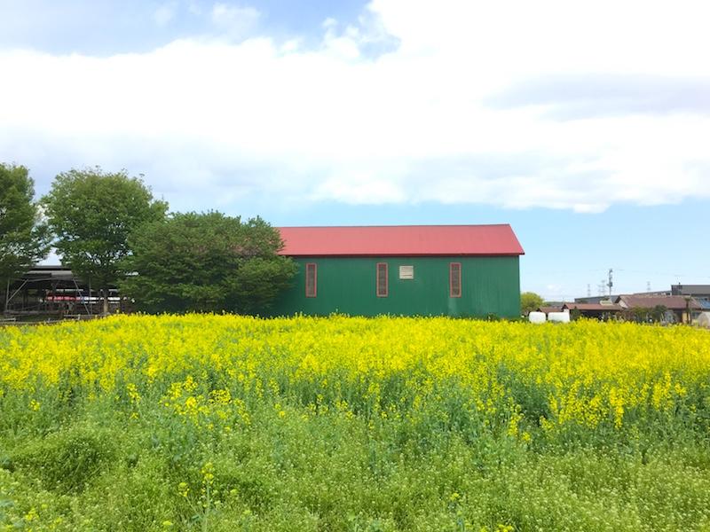 加藤牧場の菜の花畑